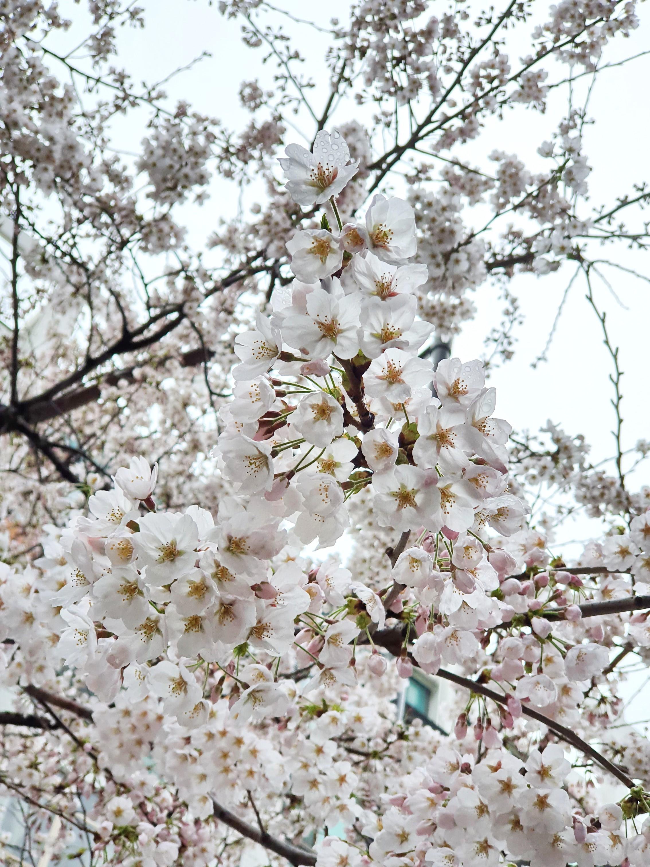 벚꽃 가까이 보기