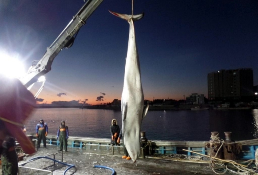 영덕 앞바다서 잡힌 '바다의 로또' 밍크 고래…6천250만원에 팔려