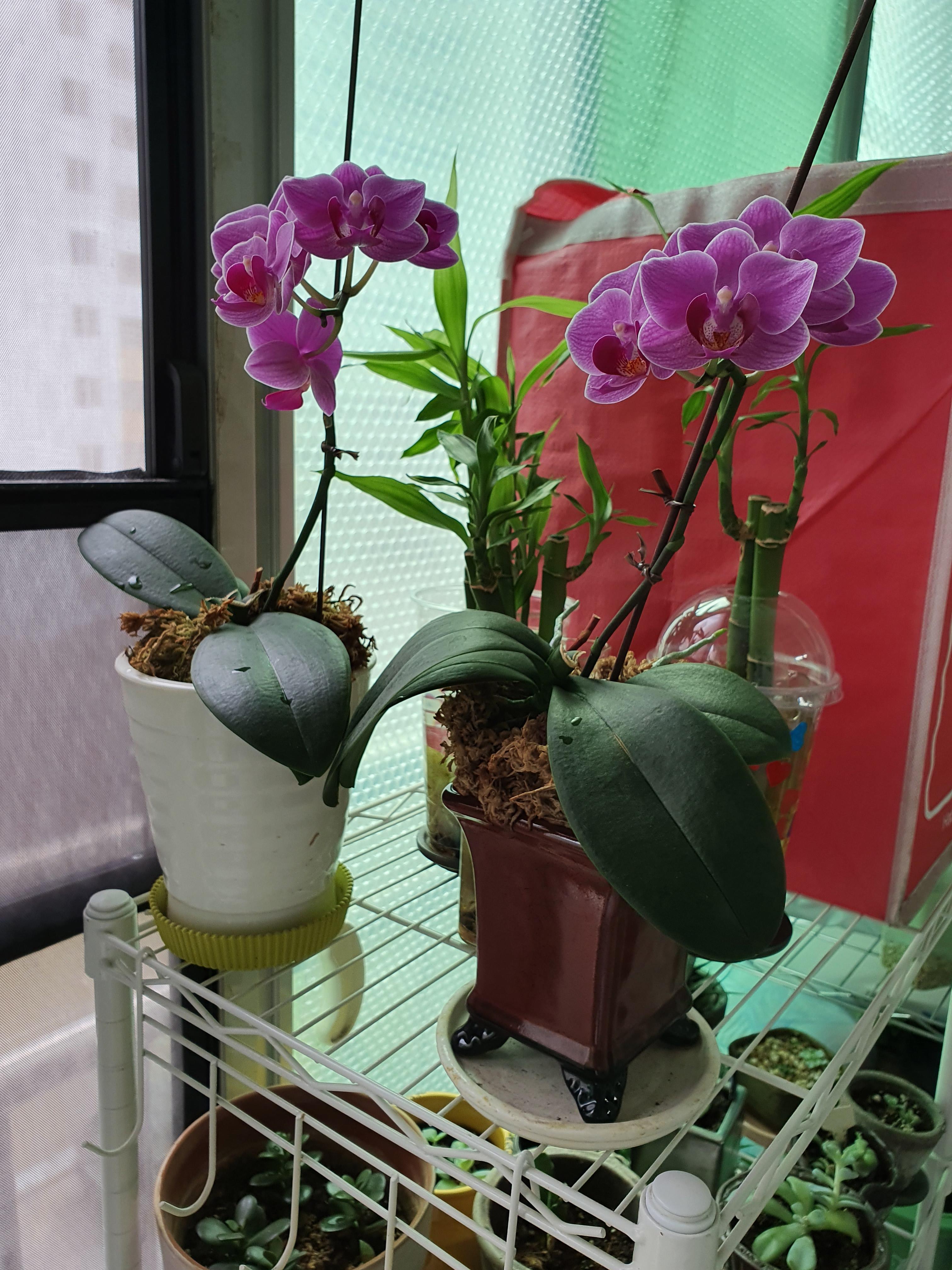 베란다 화분 : 한창 꽃이 만발한 호접란/ 물꽂이한 가지를 화분에 심어준 수국