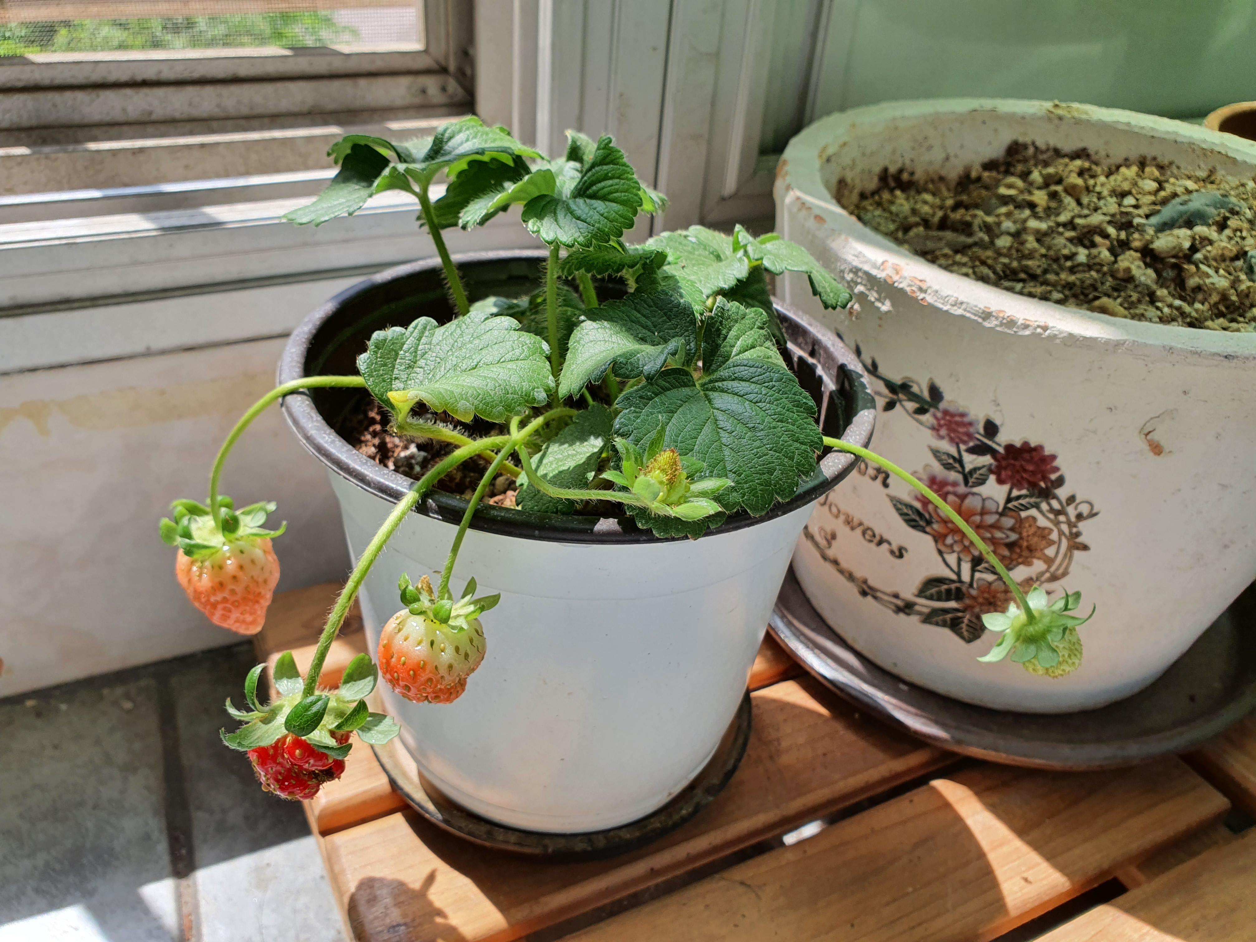딸기가 익어가는 계절