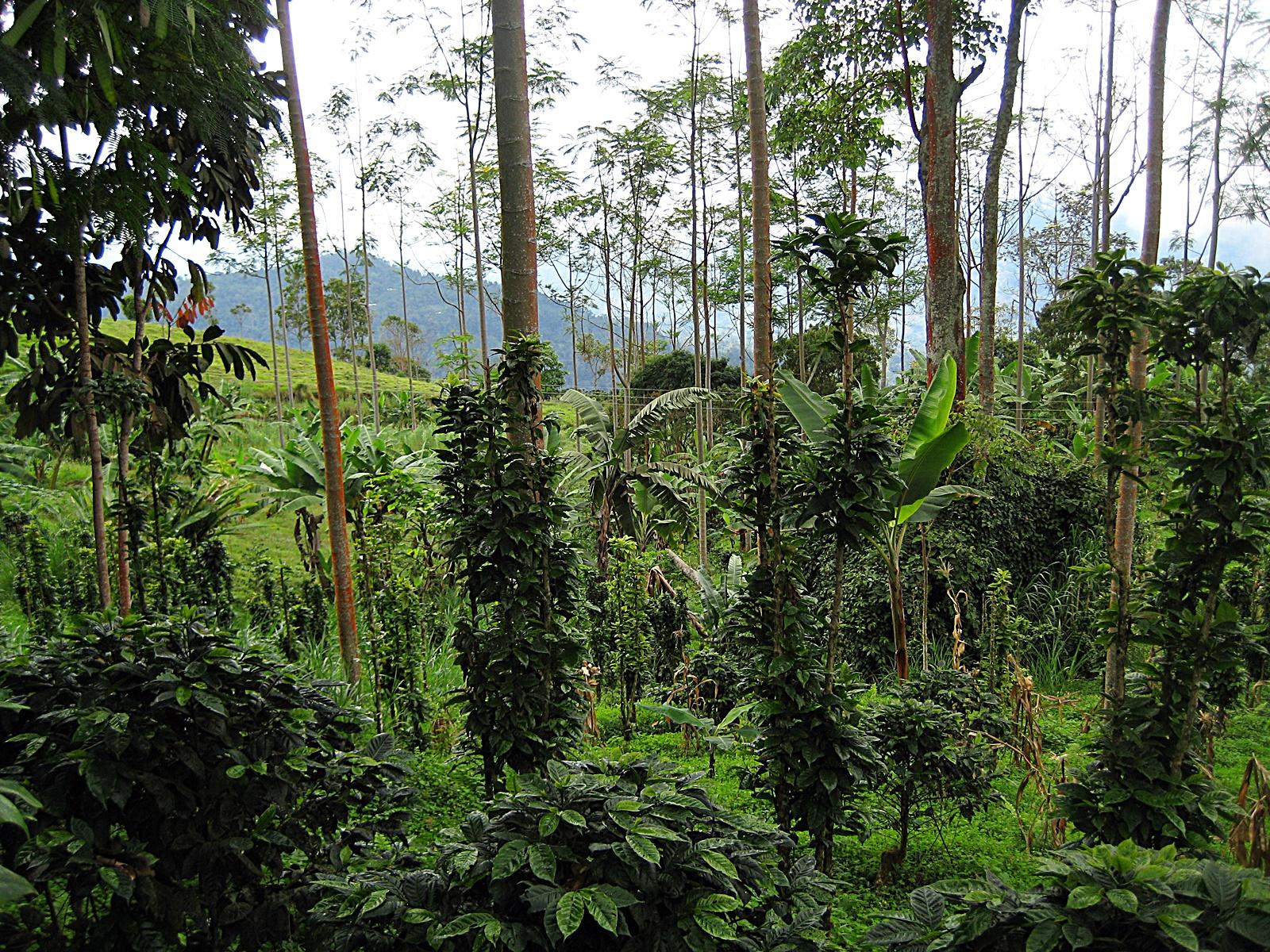 콜롬비아 농장의 그늘 재배 커피