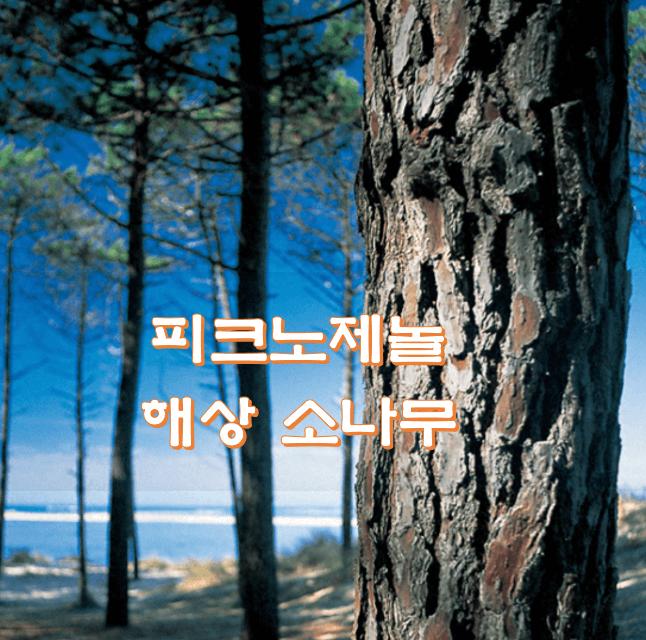 해양-소나무-사진