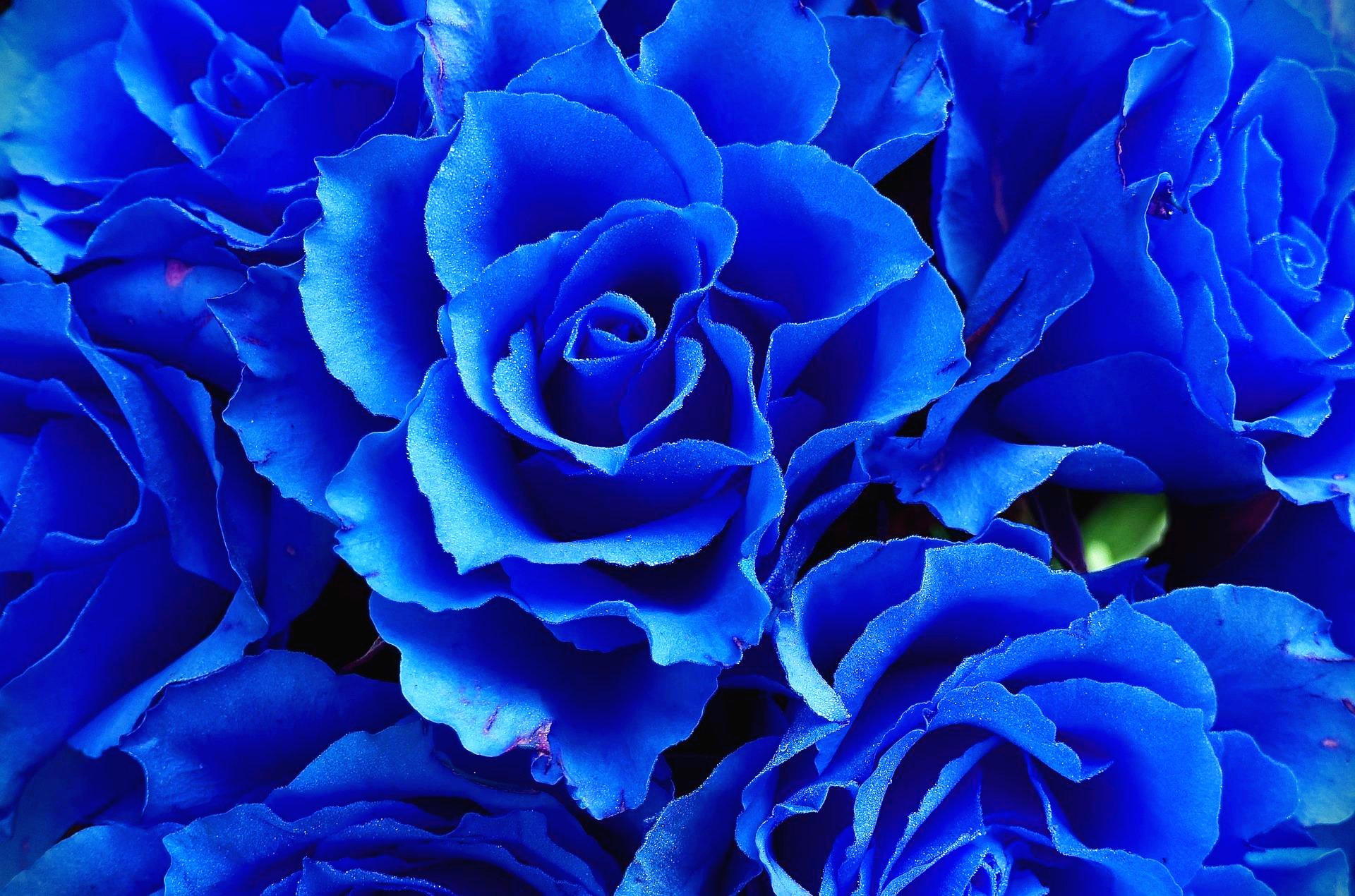 푸른색장미꽃말
