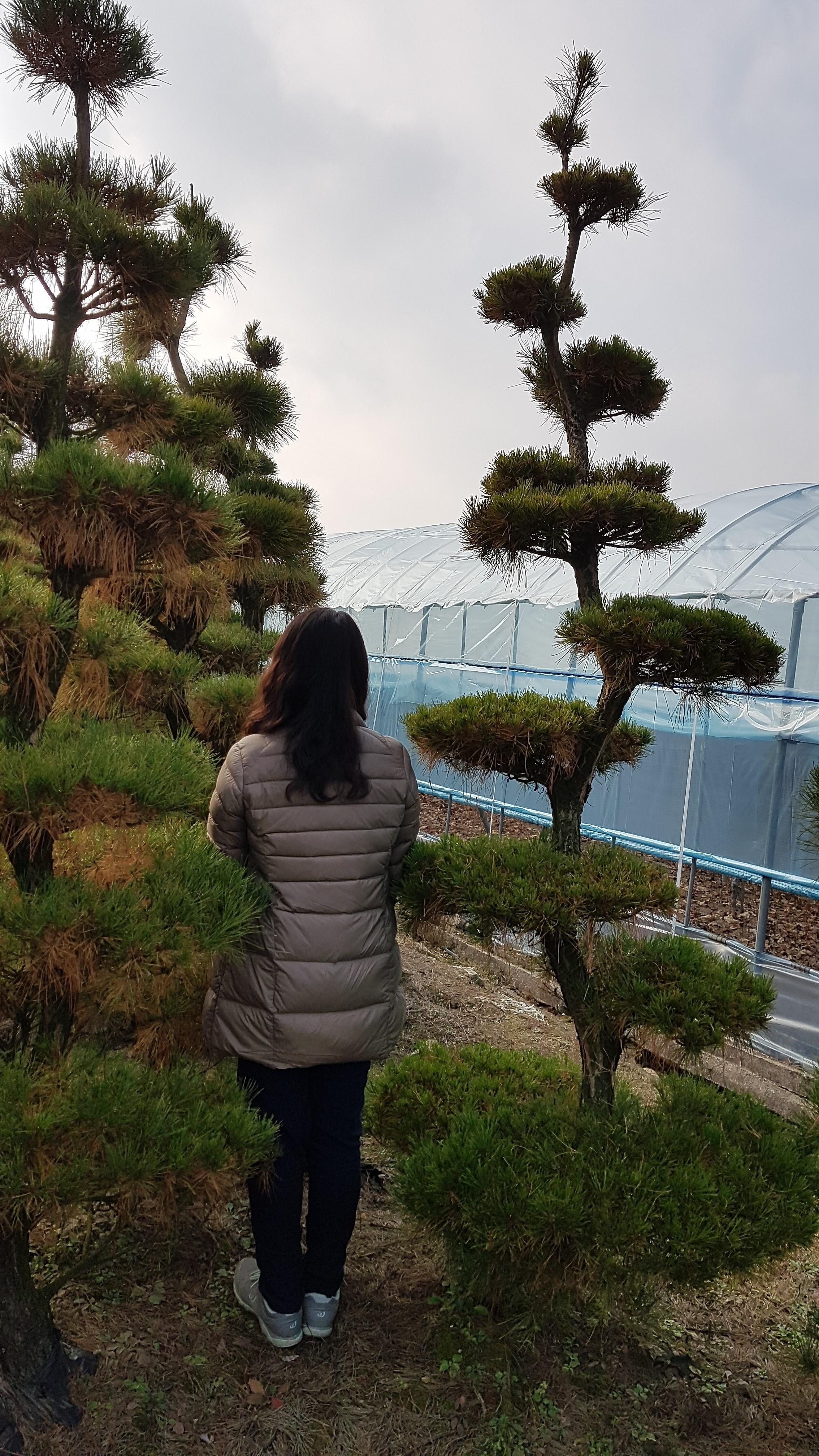 조형 소나무(육송) 대량판매 (안면도 홍송)