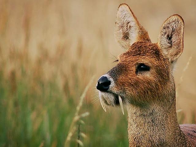고라니 - 뱀파이어 사슴(Vampire Deer)