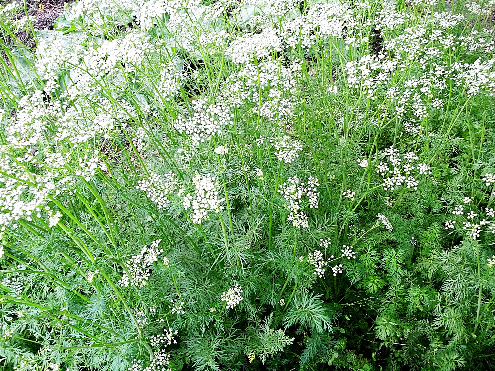 쿠민 식물