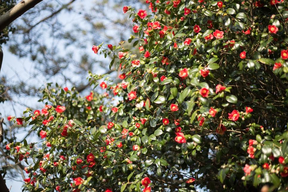 여수 오동도 동백섬 바다의 꽃섬 동백나무 포토존