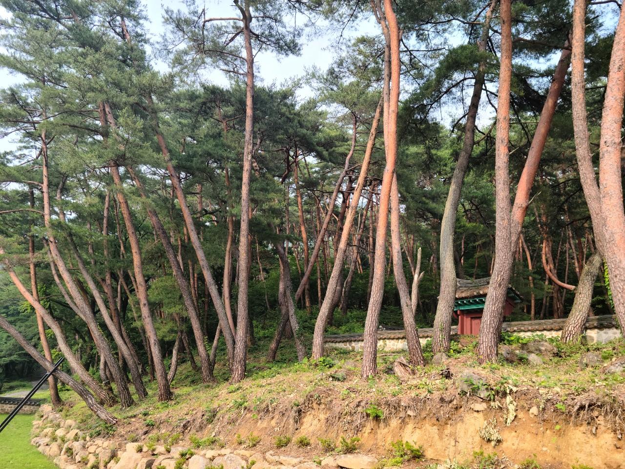 #지리산천은사  #천은사소나무숲길