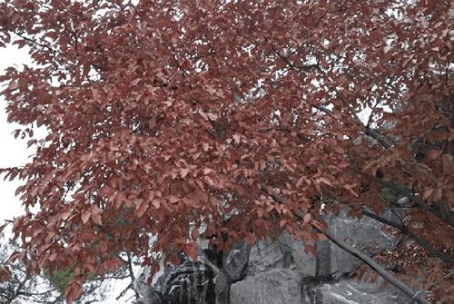 도리깨나무