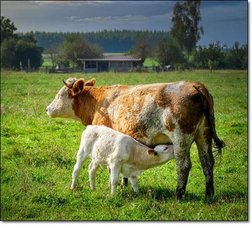 수유중인 젖소