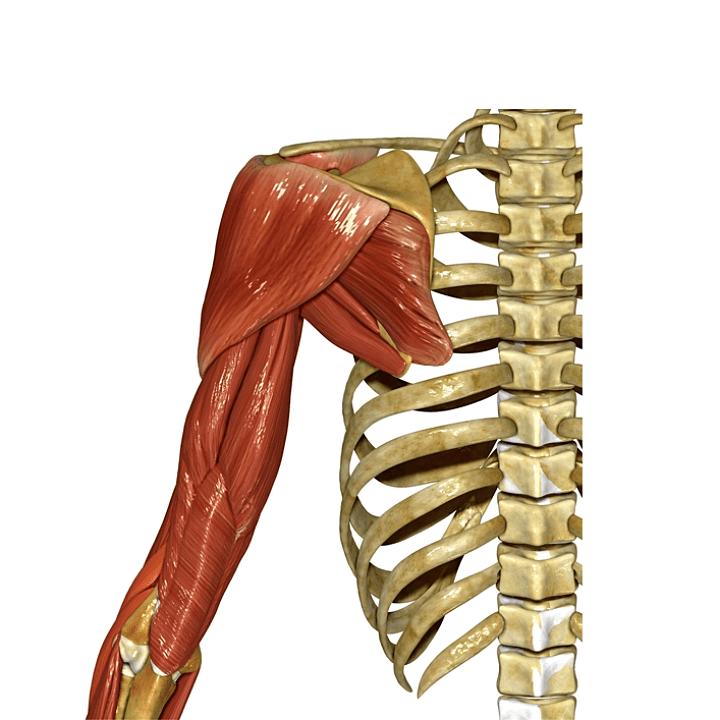 어깨-구조-관절