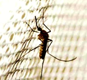 모기장모기