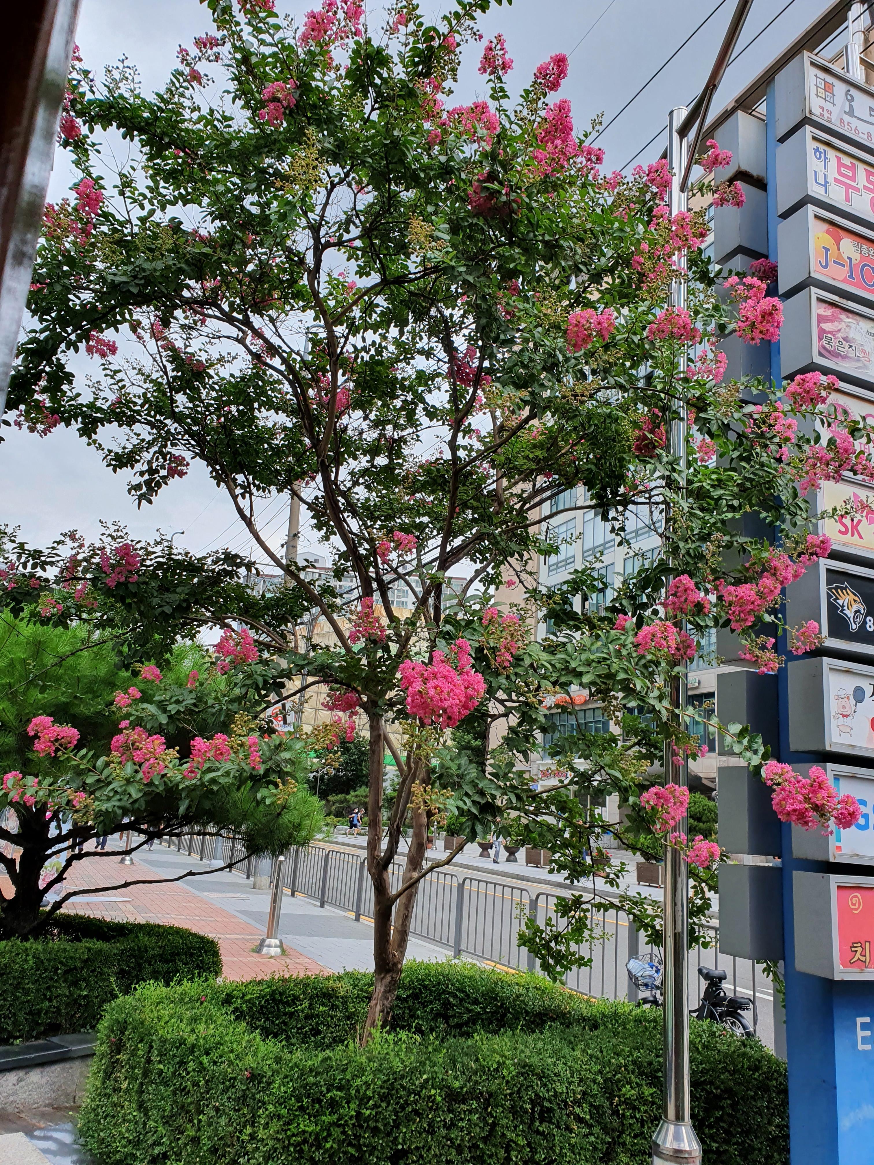 배롱나무에 분홍꽃이 탐스럽게 열렸네