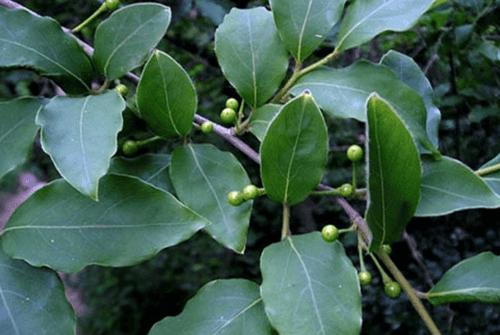 감태나무02