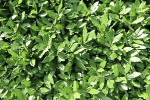 월계수잎효능6