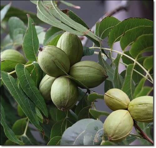 피칸 나무
