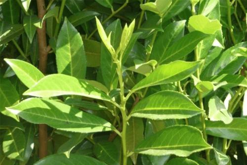 월계수잎효능1