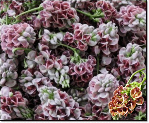 아피오스 꽃