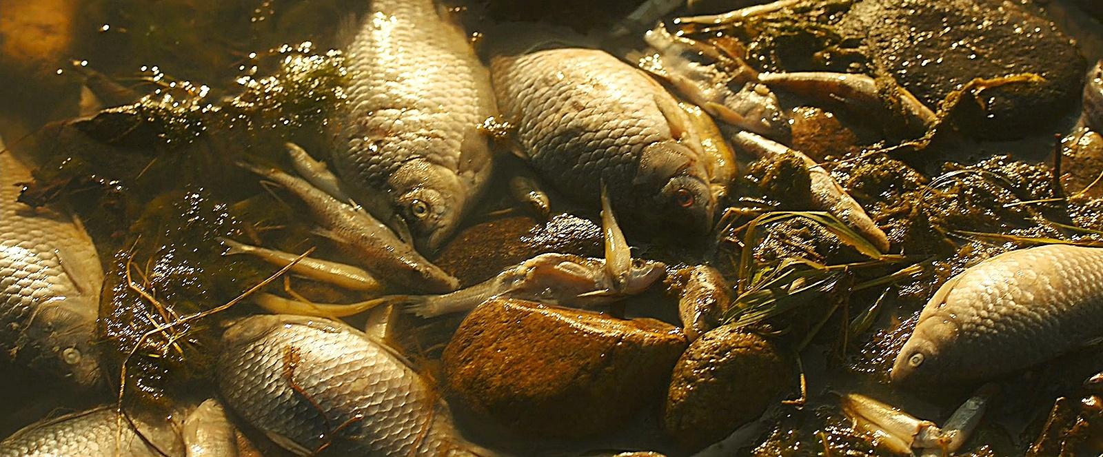 하천 물고기 떼죽음
