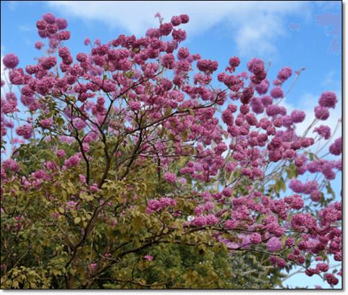 타히보 분홍꽃