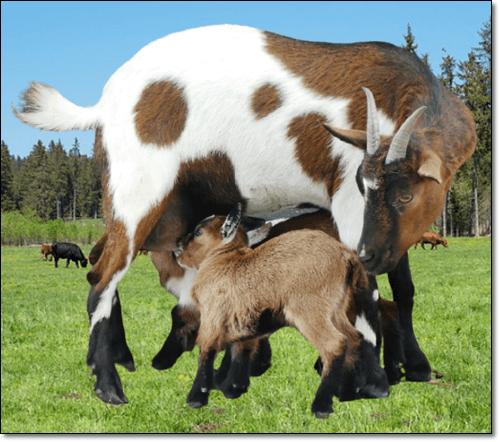 젖먹이는 염소