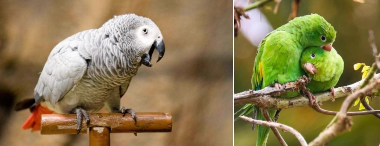 앵무새의종류