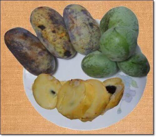 포포나무 열매