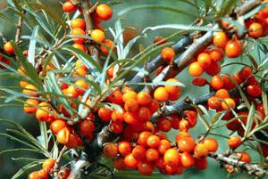 비타민 나무 효능13