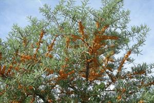 비타민 나무 효능05