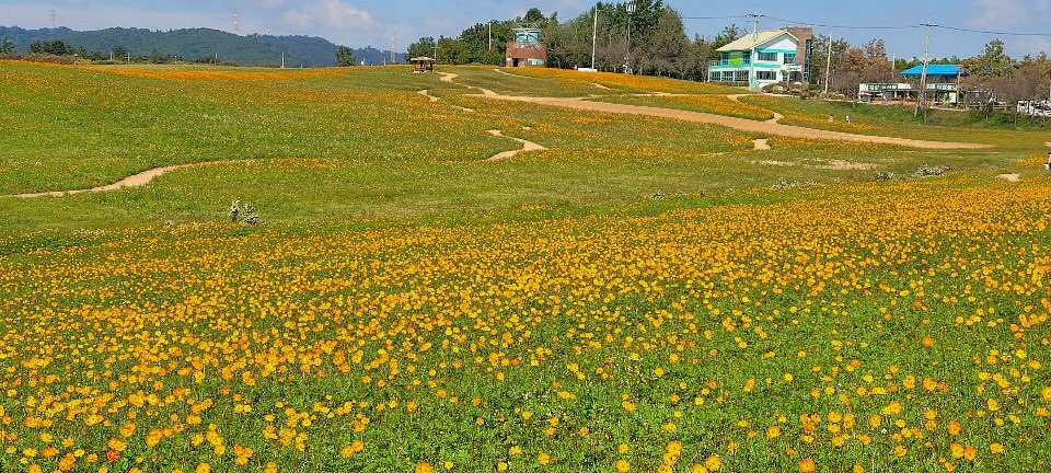 고창 청보리밭,  메밀밭, 키작은 해바라기가 있는 10월의 어느 멋진날