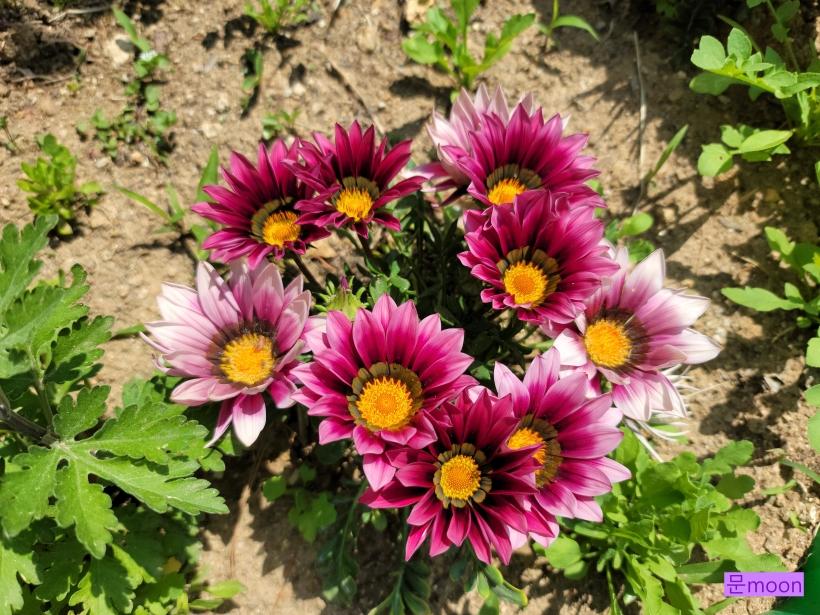 (가자니아) 태양을 닮은 화려한 가자니아꽃