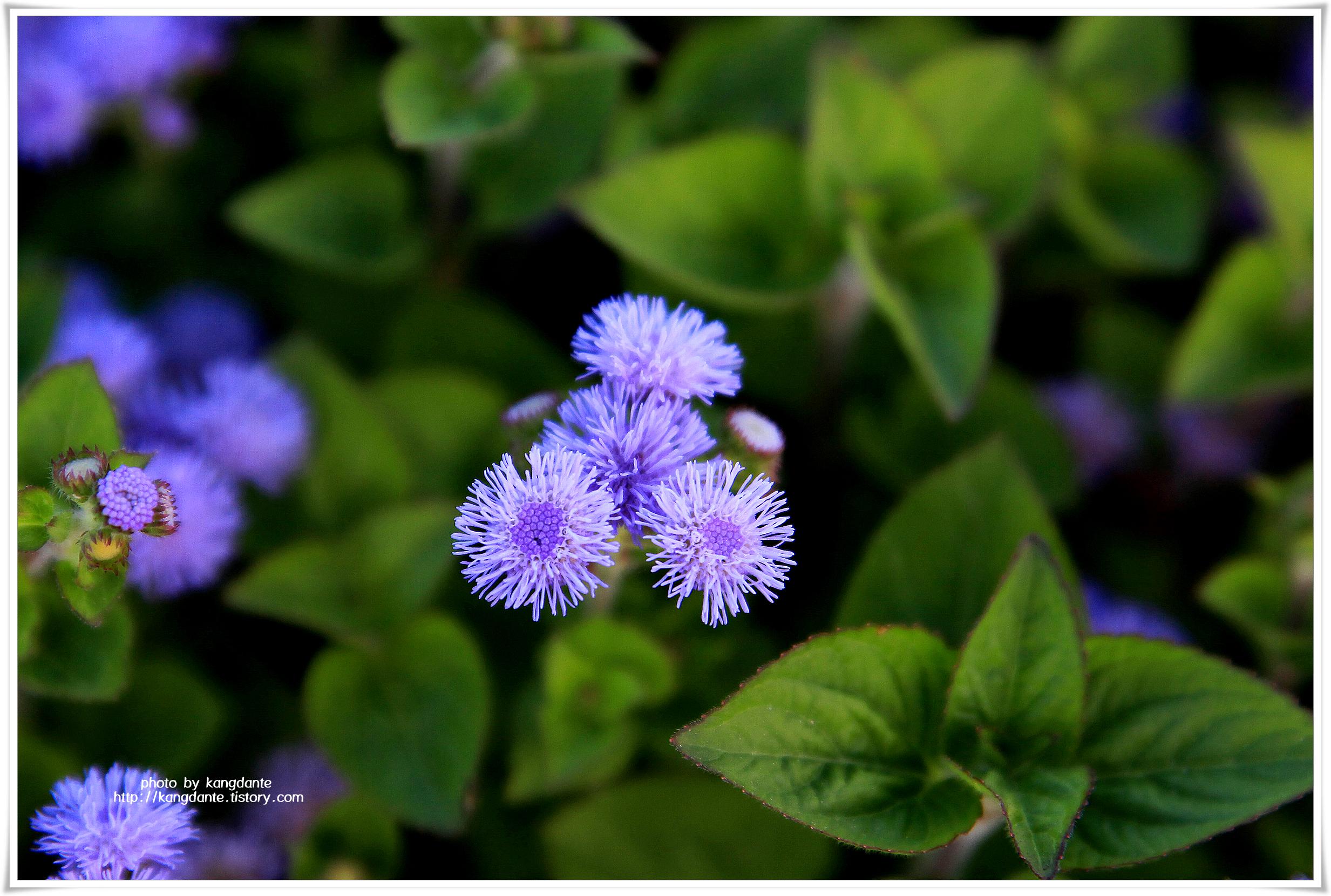 보라빛 아게라텀과 화려한 송엽국