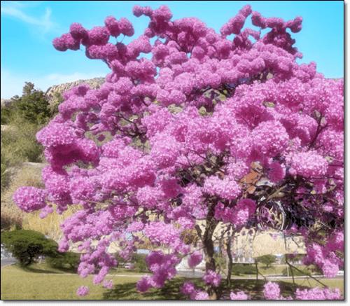 타히보나무