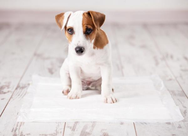강아지 배변훈련 하는 방법(+ 훈련시기 산책 마킹 배변패드 훈련 팁)