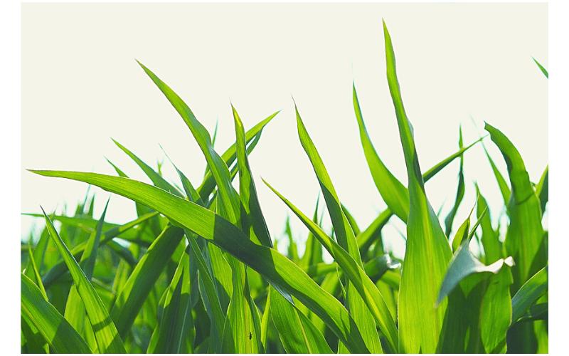 옥수수삶는법-옥수수손질법-옥수수보관법