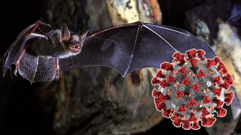 라오스 박쥐에서 '코로나19'와 96.8% 일치 바이러스 발견