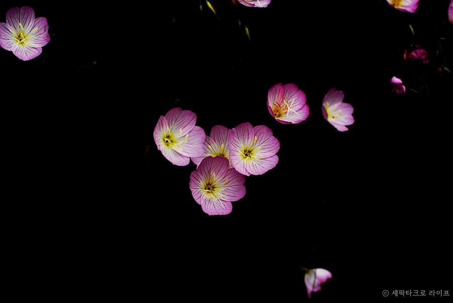 분홍달맞이꽃