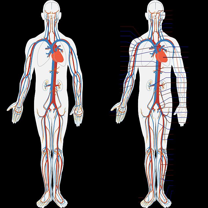 인체-혈관-구조