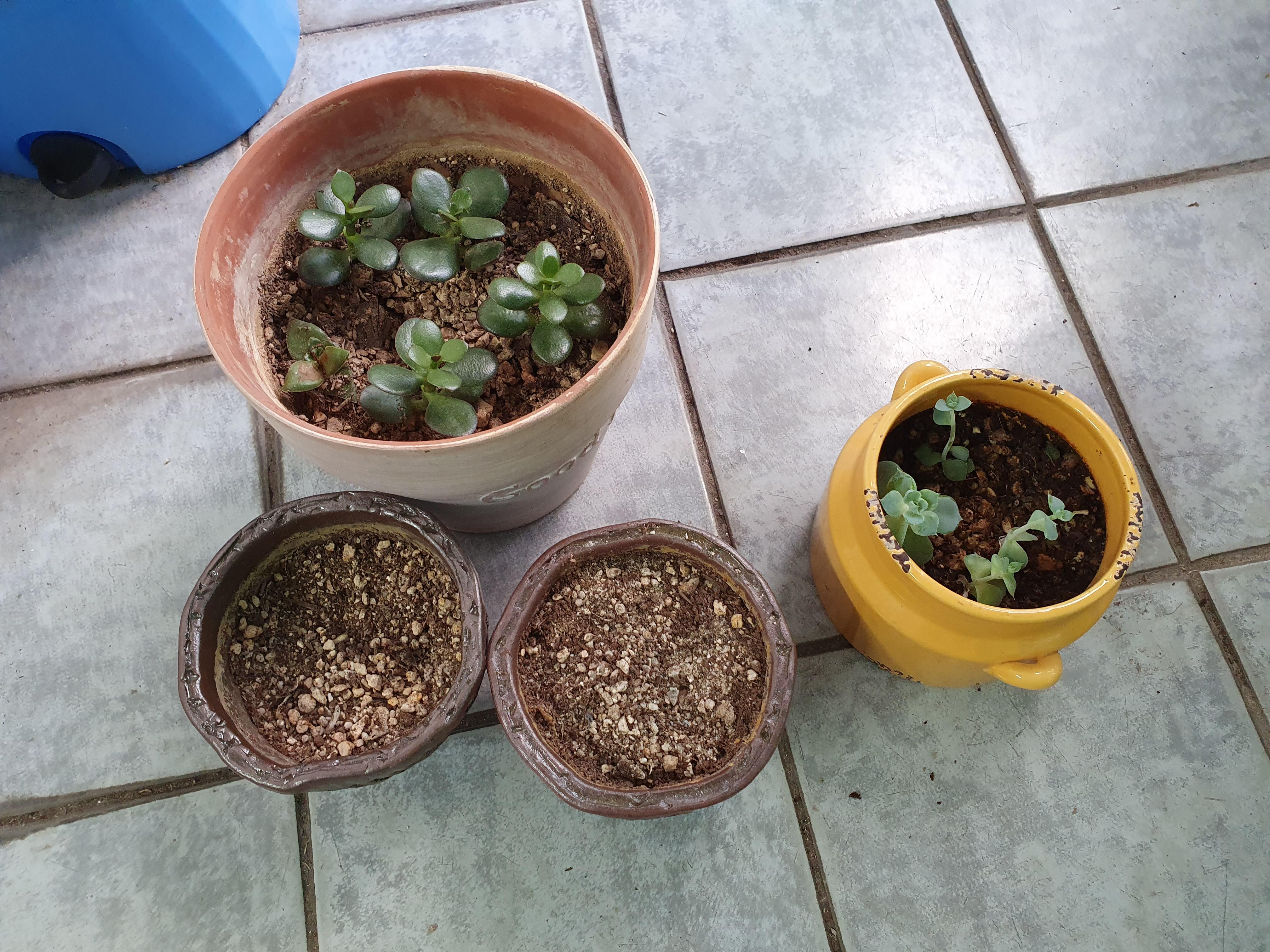 다육이 번식 : 다른 화분에 가지와 잎을 심어주기