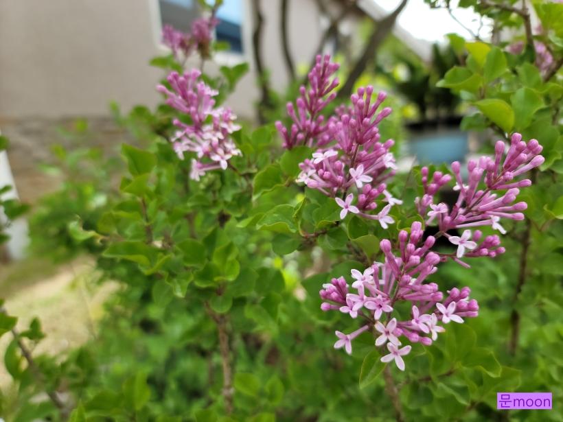 (미스킴라일락) 라일락 보다 꽃도 잎도 작은 미스킴라일락